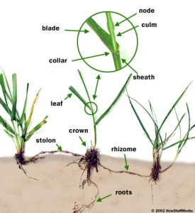 "From ""How Stuff Works"": ""How Grass Works"""